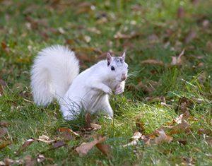 Brevard_White_Squirrel