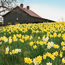 Daffodill Field